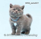 Xavier, ANIMALS, REALISTISCHE TIERE, ANIMALES REALISTICOS, cats, photos+++++,SPCHCATS817,#A#