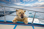 Explorers get a lucky escape as an inquisitive  bear tries to clamber onboard