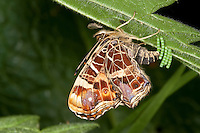 Landkärtchen, Land-Kärtchen, Weibchen bei der Eiablage auf die Unterseite eines Brennnesselblattes, Eier, Ei, Eiturm, Frühlingsgeneration, Araschnia levana, map butterfly