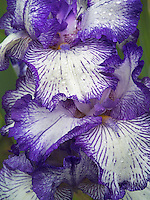 Close up of Iris (Autumn Circus) after rain. Oregon