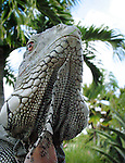 Iguana from low angle looking up, seeming like a dinosaur from Jurassic park.