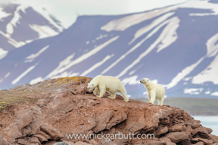 Female polar bear (Ursus maritimus) with older cub exploring shore line with no ice. Ice thawed possibly because of global warming / climate change. Woodfjorden, northern Spitsbergen, Svalbard, Arctic Norway.