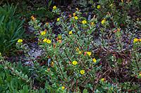 Yellow flowering California native plant in Regional Parks Botanic Garden, Berkeley, California