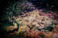 Tasselled wobbegong (Eucrossorhinus dasypogon) at night, waiting for a meal under the Navy Pier, Exmouth, Western Australia, Indian Ocean