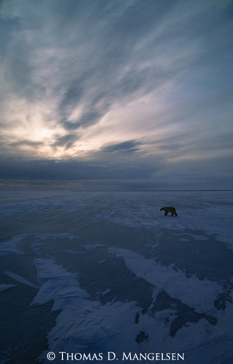 A lone silhouetted polar bear walks across the ice and snow in Canada.