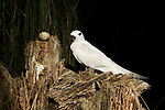 White Tern (Gygis alba) near egg on branch on which it was laid since these birds build no nest, Midway Atoll, Hawaiian Leeward Islands, Hawaii