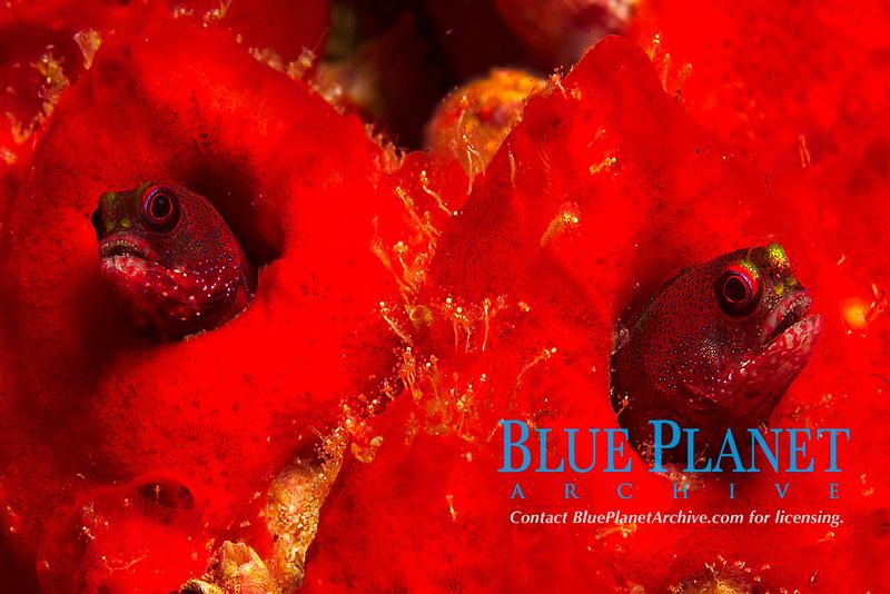 Galapaogos barnacle blenny, Acanthemblemaria castroi Blennies, Blenniidae, small long elongate Bottom dweller small reef fish, Tropical ocean coral reef, bottom dweller, Indo Pacific Ocean,