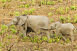 African Forest Elephant (Loxodonta africana cyclotis) mother and calf in savanna, Lope National Park, Gabon