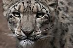 Snow Leopard portrait.  Snow Leopards are an endangered species. Captive