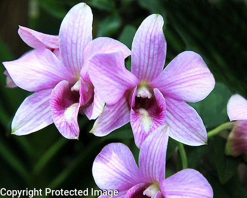 Cane Orchid <br />