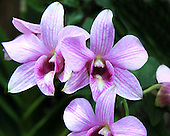 """Cane Orchid <br /> Dendrobium<br /> Matsui Hybrids<br /> Orchidaceae<br /> Dendrobium orchids are called """"Phalaenopsis type"""" are of a family of over 1000 species with new ones still being discovered in New Guinea.  Dendrobuims are native to Southeast Asia and can be found in their natural habitat from northern India to the islands of New Guinea and Polynesia.  Fragrant flowers bloom from old leafless pseudobulbs in the spring and in the early summer.  The fragrant flowers bloom from old leafless pseudobulbs in the spring and in the early summer.  Cultivated Dendrobium orchids are also commonly used as cut flowers because of their sturdy stems and distinctive coloring.  They are easy to arrange and compliment a variety of decors."""