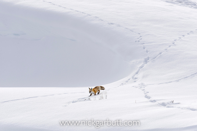 Red Fox (Vulpes vulpes) walking  through deep snow. Hayden Valley, Yellowstone National Park, Wyoming, USA. January.