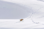 Red Fox (Vulpes vulpes) walking  through deep snow. Hayden Valley, Yellowstone National Park, Wyoming, USA. January.
