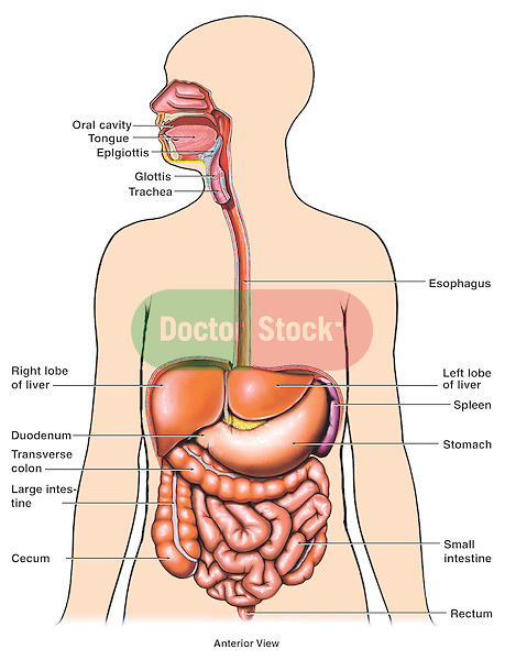 This medical exhibit diagram depicts the major organs of digestion within a generic body outline including the oral cavity, tongue, glottis, esophagus, stomach, duodenum, liver, small intestine, large intestine, transverse colon, and rectum.