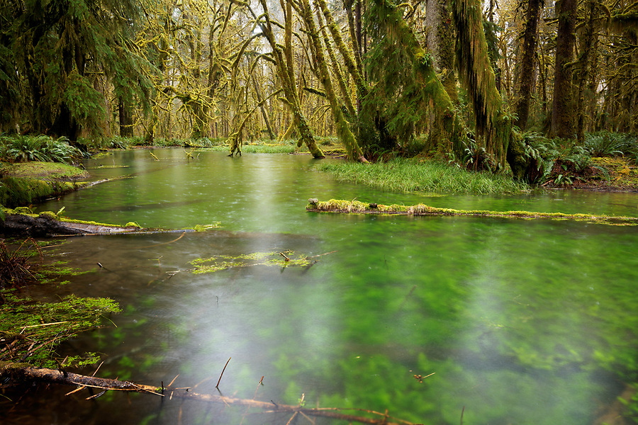 Wetland pond in temperate old-growth forest, Maple Glade Loop Trail, Quinault Rainforest, Olympic National Park, Grays Harbor County, Washington, USA