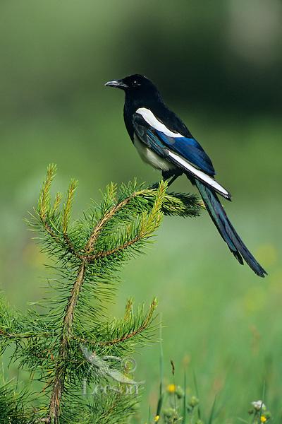Black-billed Magpie sitting on a lodgepole pine tree.  Western U.S., summer.