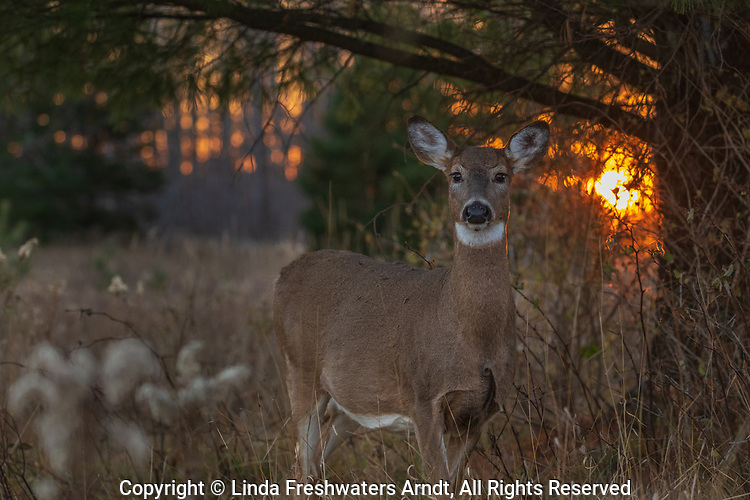 The sun is setting behind a white-tailed doe in northern Wisconsin.