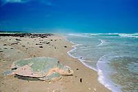 Kemp's ridley sea turtle, Lepidochelys kempii (endangered), returns to sea after nesting, Rancho Nuevo, Mexico (Gulf of Mexico), Atlantic Ocean