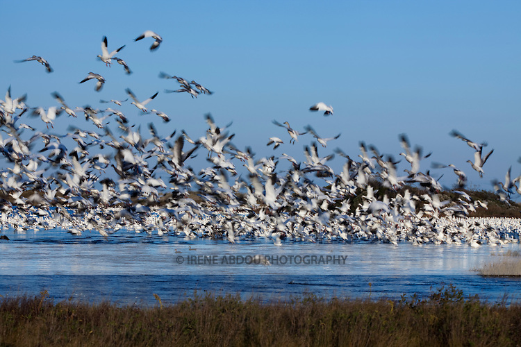 Thousands of snow geese at Chincoteague National Wildlife Refuge on Assateague Island, Virginia, simultaneously take off.