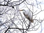 White egret in tree.