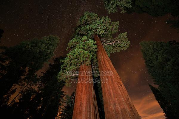 Giant Sequoia (Sequoiadendron giganteum), Sequoia and Kings Canyon National Park, California, USA