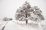 An oak-lined country road during winter snow in the Sierra Nevada Foothills of central Calif.