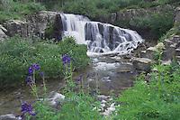 Mountain stream and wildflowers Yankee Boy Basin,Tall Larkspur,Delphinium barbeyi, Blue Columbine, Ouray, San Juan Mountains, Rocky Mountains, Colorado, USA