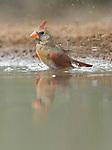 Texas, Rio Grande Valley, Female Cardinal  Bathing (Cardinalis virginianus)
