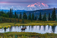 Cow moose and calf in pond with Denali in background at sunrise in Denali National Park <br /> <br /> Photo by Jeff Schultz/SchultzPhoto.com  (C) 2017  ALL RIGHTS RESERVED