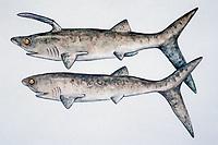 illustration of fossil shark, Chondrichthyes, Elasmobranchii, Stethacanthidae, Falcatus falcatus, Montana, Bear Gulch Limestone Beds, size 15 cm, Mississippian, 330 MYA, prehistoric shark