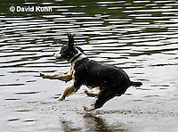 0808-0804  English Springer Spaniel Jumping off Dock into Water, Canis lupus familiaris © David Kuhn/Dwight Kuhn Photography.