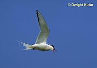 MC59-056z  Arctic Tern - flying above island - Machias Seal Island, Bay of Fundy - Sterna paradisaea