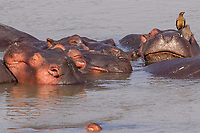 Africa, Zambia, South Luangwa National Park,  hippo and Red-billed oxpecker
