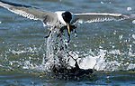 Gull ends up with a face-full of mud as he dives to catch fish by Michael Jury