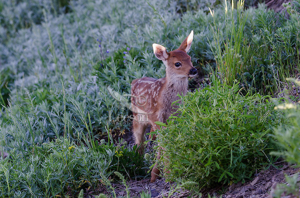Columbian black-tailed deer (Odocoileus hemionus columbianus) fawn catching the first moments of morning sun on its ears.  Pacific Northwest.  Summer.