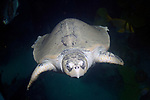 Kemps Ridley Sea Turtle swimming mid-water column near surface