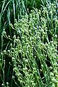 Eryngium yuccifolium, early August.