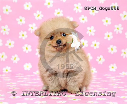Xavier, ANIMALS, dogs, photos+++++,SPCHDOGS888,#a# Hunde, perros