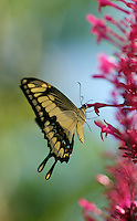 Large Yellow Swallowtail Butterfly feeding on flowers.