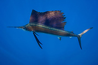 pelagic Atlantic sailfish, Istiophorus albicans, (considered by some to be a single species with Istiophorus platypterus), lit up with bright blue markings that indicate excitement, Yucatan Peninsula, Mexico (Caribbean Sea) near Contoy Island, Isla Mujeres, Cozumel, Cancun