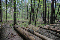 Foresta di Bialowieza I primi tagli del bosco The first cuts of the wood