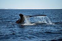 bowhead whale, Balaena mysticetus, Igloolik, Nunavut, Canada, Arctic