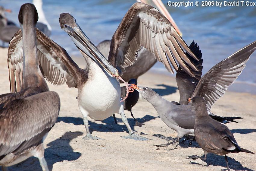 Brown Pellican fighting Heerman's Gull, Sea of Cortez, Baja, Mexico