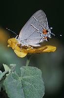 Gray Hairstreak, Strymon melinus, male on Bastardia (Bastardia viscosa) , Starr County, Rio Grande Valley, Texas, USA, May 2002