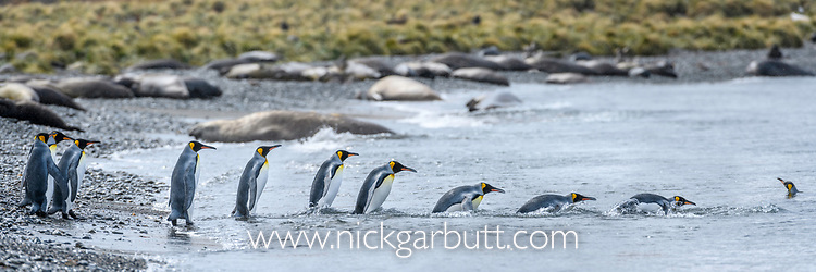 A group of king penguins (Aptenodytes patagonicus) returning to the sea. St Andrews Bay, South Georgia, South Atlantic.