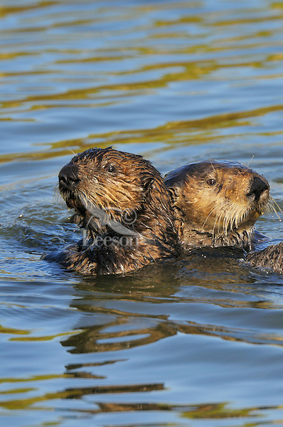 Sea Otter (Enhydra lutris) mom with immature (3 to 4 month old on left) pup.