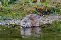 Muskrat (Ondatra zibethicus) feeding along edge of wetland area.  Western U.S., Sept..