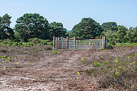 BNPS.co.uk (01202 558833)<br /> Pic: MaxWillcock/BNPS<br /> <br /> Cows have been reintroduced to a beauty spot for the first time in 90 years in a bid to save its threatened sand dune habitats.<br /> <br /> A herd of ten Red Devon grazing cattle are being used to trample down overgrown vegetation and boost biodiversity at Studland Bay, Dorset.<br /> <br /> The roaming animals, which are wearing GPS smart collars, are being monitored daily by National Trust livestock managers and will graze on dense areas of shrub away from Britain's most popular naturist beach.