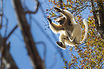 Golden-crowned sifaka (Propithecus tattersalli) leaping through forest canopy. Forests adjacent to the village of Andranotsimaty, near Daraina, northern Madagascar. Critically endangered.