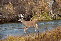 White-tailed Deer Buck (Odocoileus virginianus) in late fall wading stream.